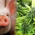 I My Pigs Feeds My Pigs On Marijuana To Create True High-Quality Meat-Butcher