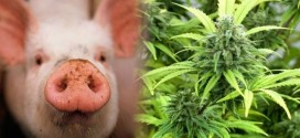 I Feed My Pigs Marijuana To Create True High-Quality Meat – Butcher