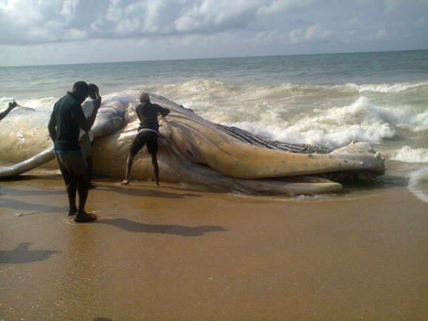 Welcome To Naija-Spy-News: UNBELIEVABLE: Whale Found On ...