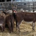 Army Repatriates 226 Donkeys To Niger Republic