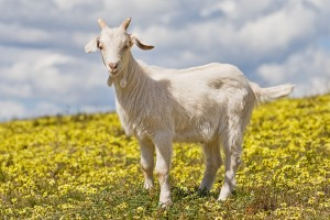 10 Fun Facts You Never Knew About Goats