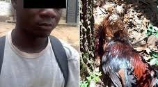 19 Yr Old Molests Chicken To Death In Ondo, Says A Spirit Directed Him To Do So