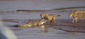 Lions vs. Crocodile In Violent Battle Caught On Video At Kenya's Samburu National Reserve