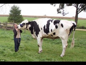 Behold, The World's Tallest Cow