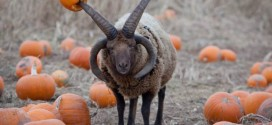 Zoo Calls For Exorcism OF Four-Horned Aggresive Devil Sheep