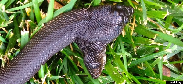 this two headed black pine snake needs two names. Black Bedroom Furniture Sets. Home Design Ideas