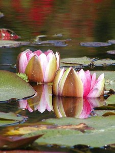 300px-Water_Lillies_0421024121