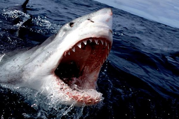 51989793_shark_224346c