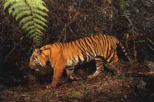 A male Sumatran tiger at Gunung Leuser National Park