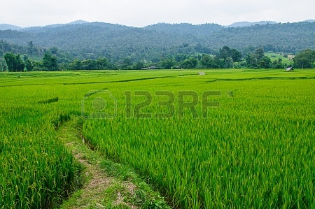 19109952-field-rice-and-farmer-hut-in-countryside-of-thailand