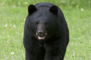 Black Bear Breaks Into House To Steal Chinese Food