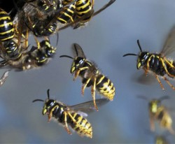 A5TFB4-common-wasp_2661051b-250x206
