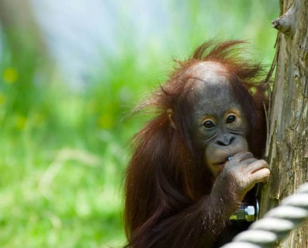 Three men arrested for eating orang-utan