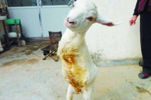 £££--Lamb-born-without-front-legs-has-learned-how-to-walk-like-a-human-solely-on-his-back-limbs-2943293