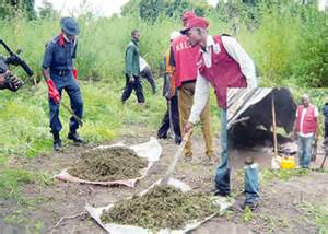 file: Cannabis farm in Osun