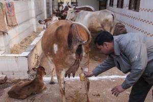 Fresh-Cow-Urine-3017749