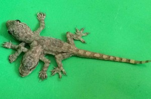 Two-headed, six-legged baby house gecko