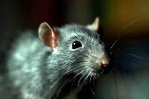 Rat-2965079