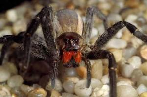 Brazilian-wandering-spider-2674375