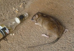 beer-for-rats-550x380