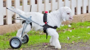 3030920-poster-p-1-goat-baby-wheelchair