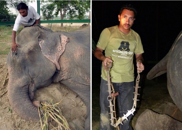 crying-elephant-raju-rescued-chained-50-years_05