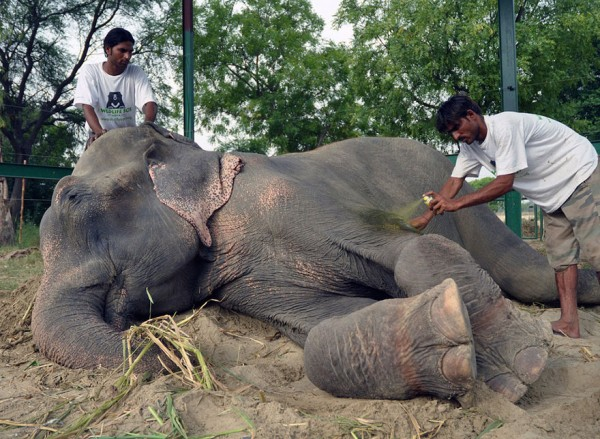 crying-elephant-raju-rescued-chained-50-years_06