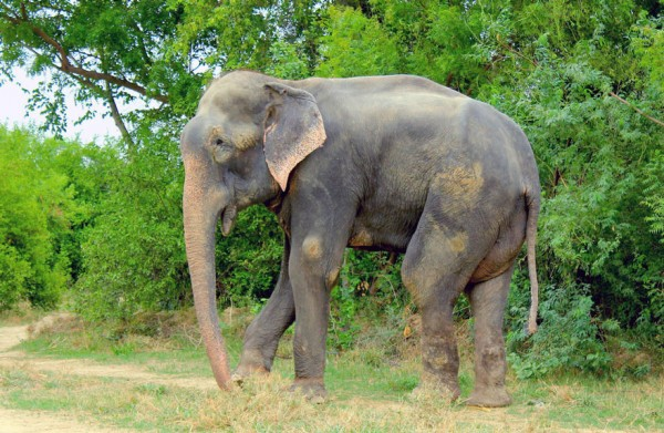 crying-elephant-raju-rescued-chained-50-years_07