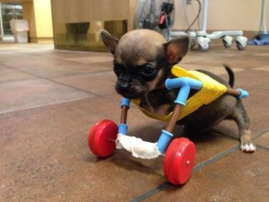 Disabled Chihuahua Gets Wheels Made From Toys