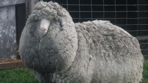 Is This the World's Woolliest Sheep?