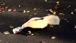 Drunk As A Skunk: Animal Gets Stuck In Beer Can
