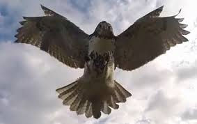 Hawk attacks drone to defend its territory