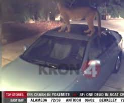 Lion Climbs On The Top Of A Car