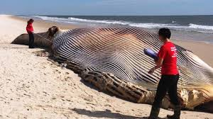 58-Foot Dead Whale Washes Ashore.
