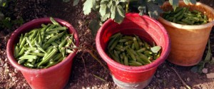 Cops Mistake Okra For Marijuana, Send The Big Guns To Man's House
